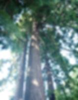 sous les séquoïas centenaires du manoir des Tuileries du Buisson