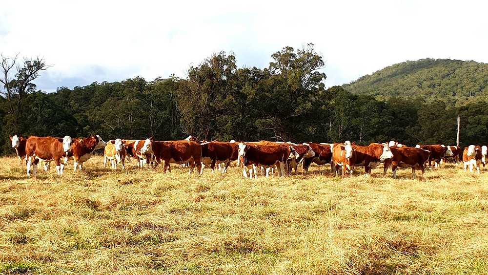 Crossbred success: The Wirth family put Simmental bulls over their Hereford x Charolais cows to produce good growthy progeny, and females with excellent mothering ability.