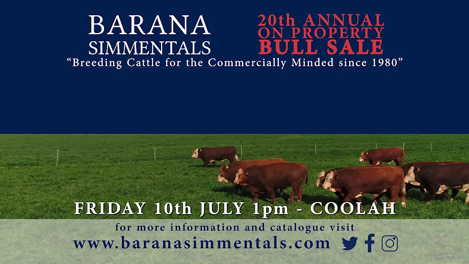 Simmental bulls for sale at Barana's on property bull sale