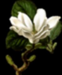 alpas_magnolia.png