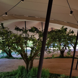 Stretch Tents over the apple trees