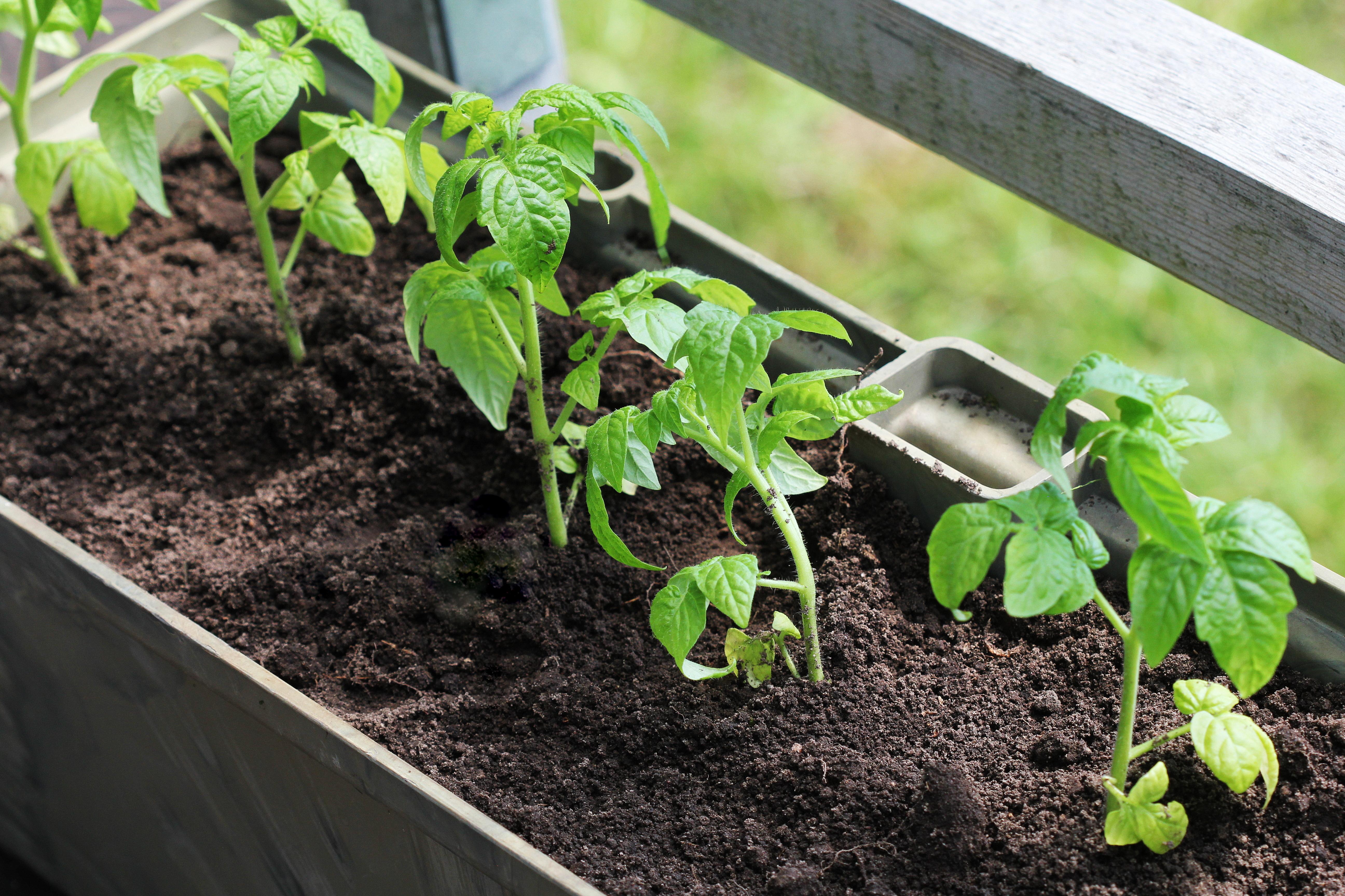 Выращивание томатных растений