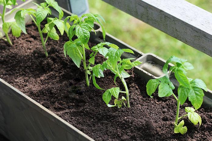 Planter des tomates en croissance