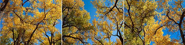 gurd11_cottonwoods_triptych.jpg