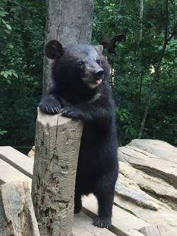 young Moon bear cub