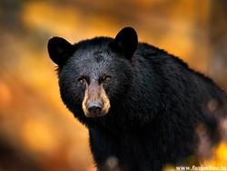 black-bear-wallpaper-2