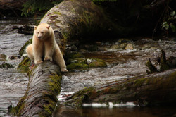 A white spirit bear fishing in the Great