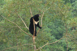 Picture is of rescued moon bear Maggie a