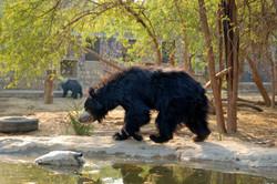 Manali bear enjoying a beautiful morning