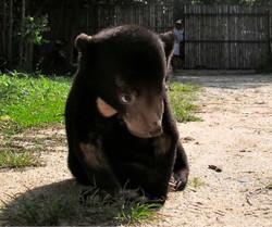 tiny male Sun bear cub