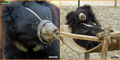 rehabilitation of a 'dancing bear'.jpg