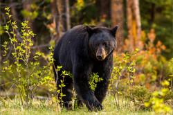 jasper-black-bear-c2a9-christopher-marti