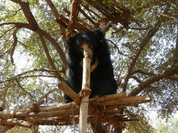 Rathi from BannerghattaBearRescueFacilit