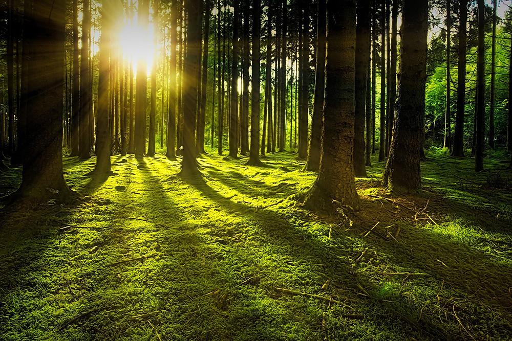 sun shining through mossy forest