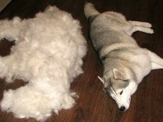 Grooming Your Double Coated Dog