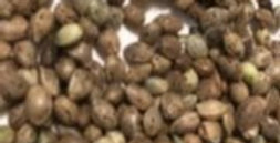 """Bubba Remedy"" FEM Seeds"