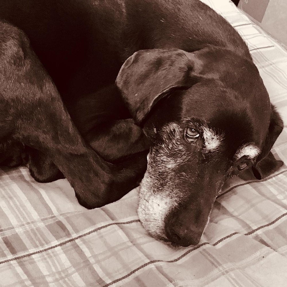 Senior dogs pets old dog mobility
