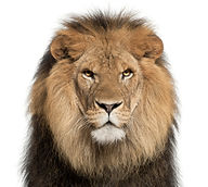 Close-up of lion, Panthera leo, 8 years