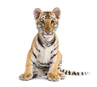 Two months old tiger cub sitting against
