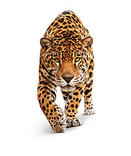 Jaguar, Panther, front view, isolated on