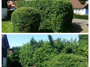 Front Garden Hedge Tidy up