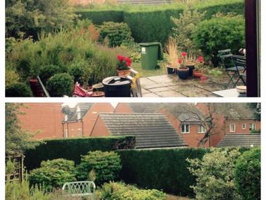 Back Garden Conifer Reduction