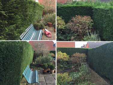 Conifer Hedge Tidy Up