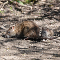 Brown Rats - mother & baby