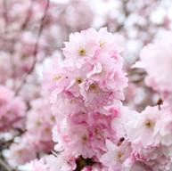 Spring - Apple Tree Blossom