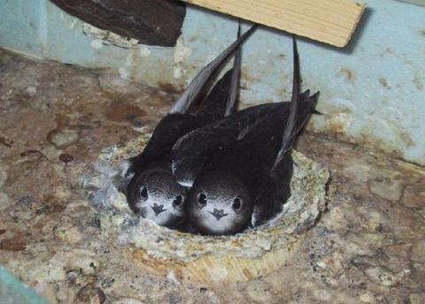 Swifts in nest