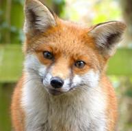 Red Fox - Vixen