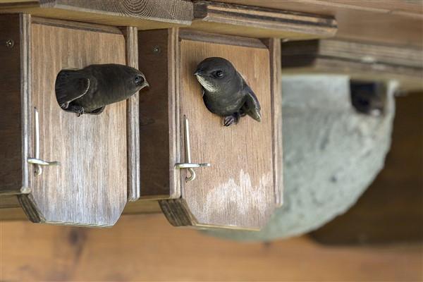 Swift nesting boxes