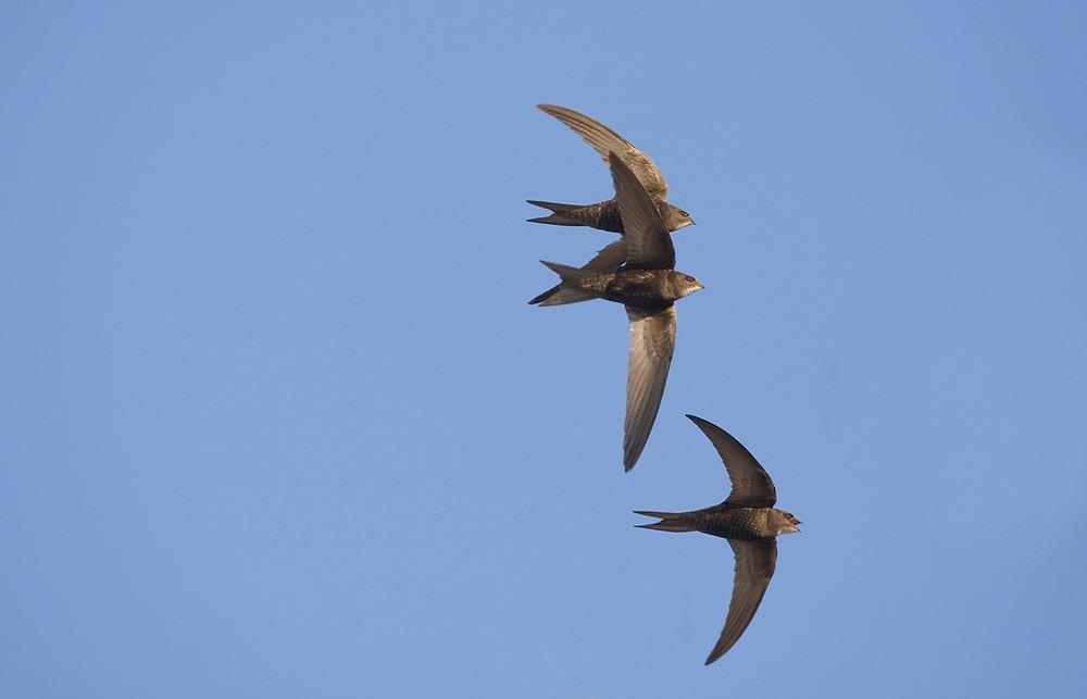 Group of swifts in flight