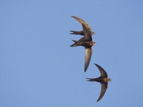Species in the Spotlight: Swifts