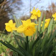 Spring - Daffodils