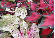Lance Leaf Mixed Caladium