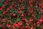 Surefire Red Begonia