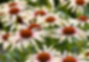 Echinacea Blushing Meadow Mama.jpg