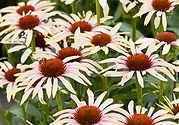 Echinacea Blushing Meadow Mama.jpg