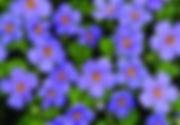 Bacopa Scopia Gulliver Blue.jpg