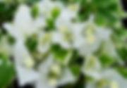 Vanilla Ice Bougainvillea.jpg