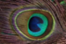 peacock-feather-186339_1280.jpg