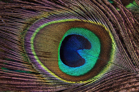 peacock-feather-186339_1280.jpg
