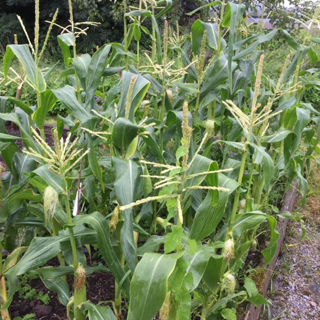 Corn in the Garden