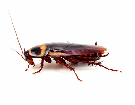 Cockroaches, Roach