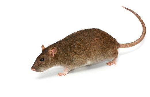 Rat & Mice