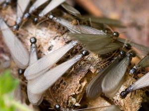 subterranean-termites-swarmers