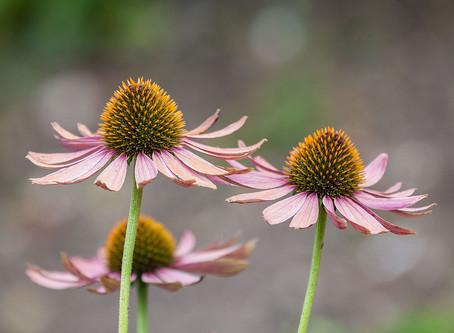 Echinacée, plante sacrée Amérindienne.