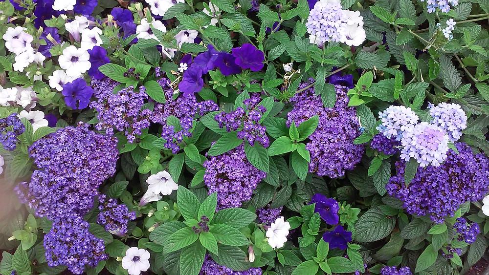紫のグラデーショに揺れる花壇