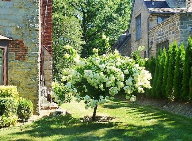 白い紫陽花の木
